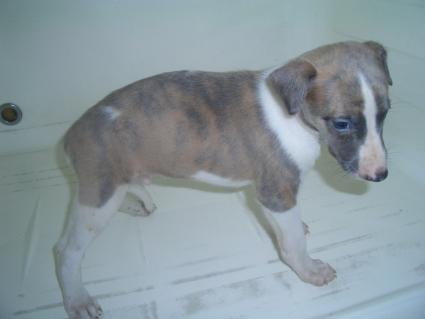 ウィペットの子犬No.200908041-2
