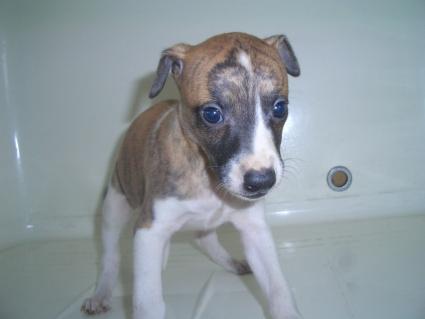 ウィペットの子犬No.200908042