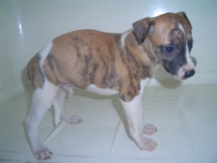 ウィペットの子犬No.200908042-2