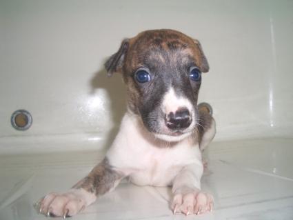ウィペットの子犬No.200908043