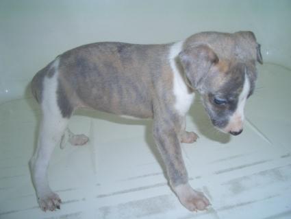 ウィペットの子犬No.200908044-2
