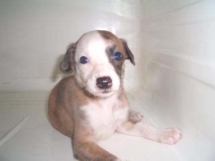 ウィペットの子犬No.200908045