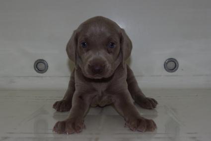 ワイマラナーの子犬
