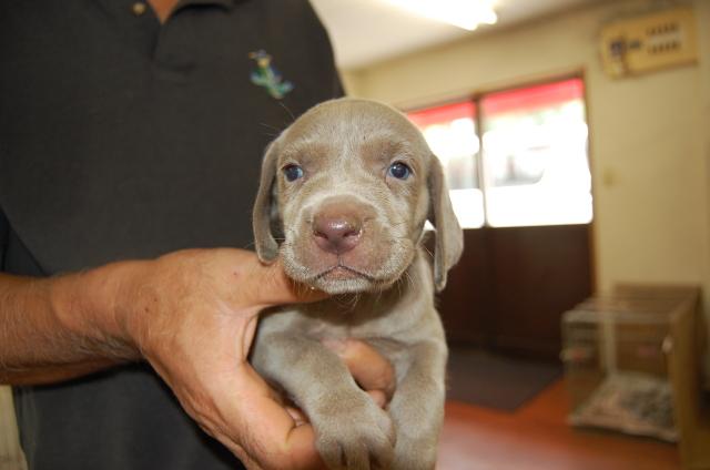 ワイマラナーの子犬4