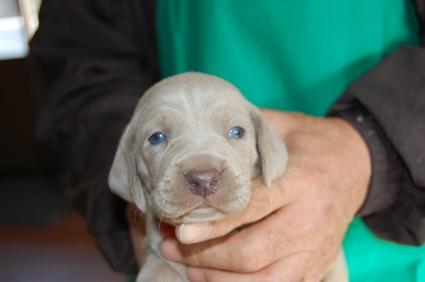 ワイマラナーの子犬販売No.200812262