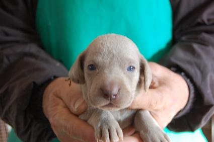 ワイマラナーの子犬販売No.200812263