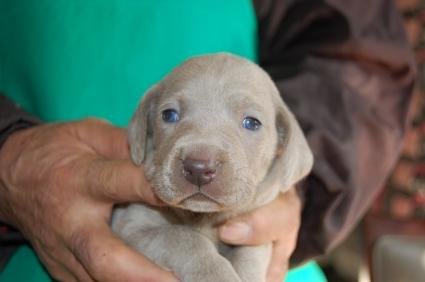 ワイマラナーの子犬販売No.200812261
