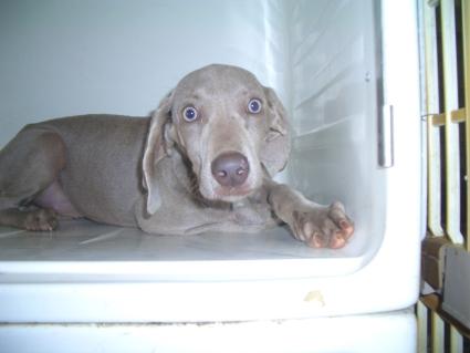 ワイマラナーの子犬No.200903061