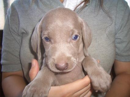 ワイマラナーの子犬No.200907203