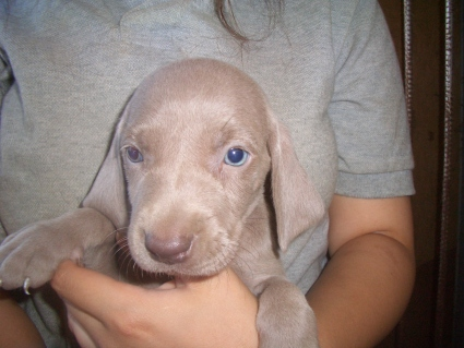 ワイマラナーの子犬No.200907204