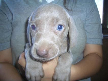 ワイマラナーの子犬No.200907205