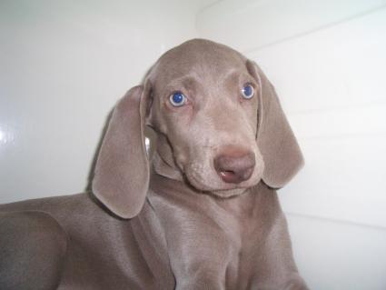 ワイマラナーの子犬No.200907202