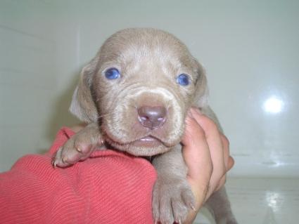 ワイマラナーの子犬No.200910187