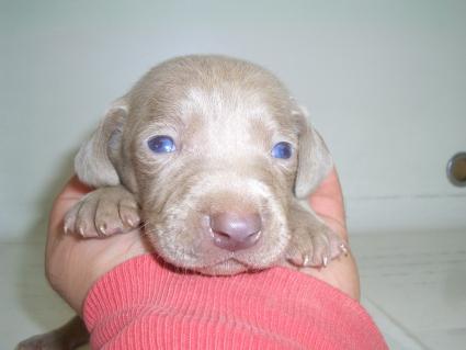 ワイマラナーの子犬No.200910182