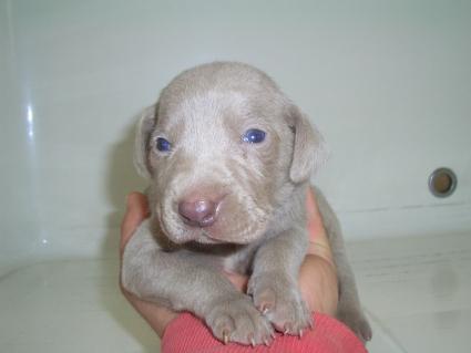 ワイマラナーの子犬No.200910183