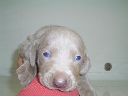 ワイマラナーの子犬No.200910184