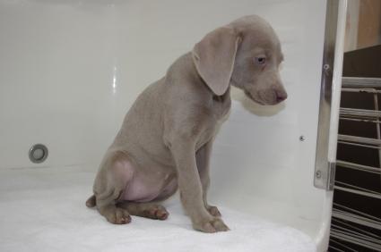 ワイマラナーの子犬No.200910186