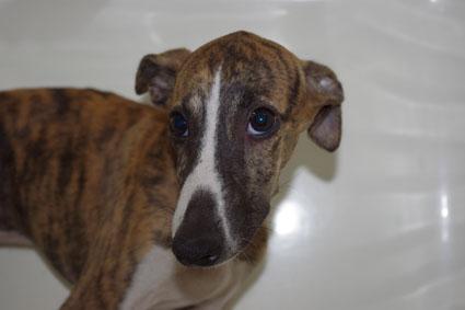 ウィペットの子犬No.201005262