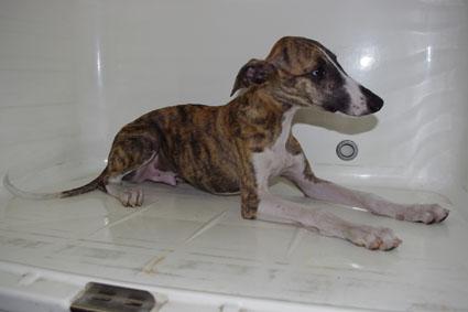 ウィペットの子犬No.201005262-2