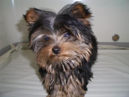 ヨークシャーテリアの子犬No.200812241